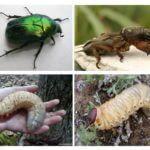 Ấu trùng của bọ cánh cứng tháng Năm và Medvedka