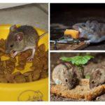 Lure cho động vật gặm nhấm