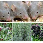 Các loại thảo mộc từ chuột