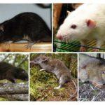 Loài chuột