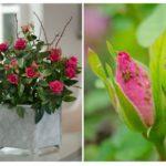 Rệp trên phòng hoa hồng