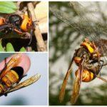 Á hậu hornet kẻ giết người khổng lồ