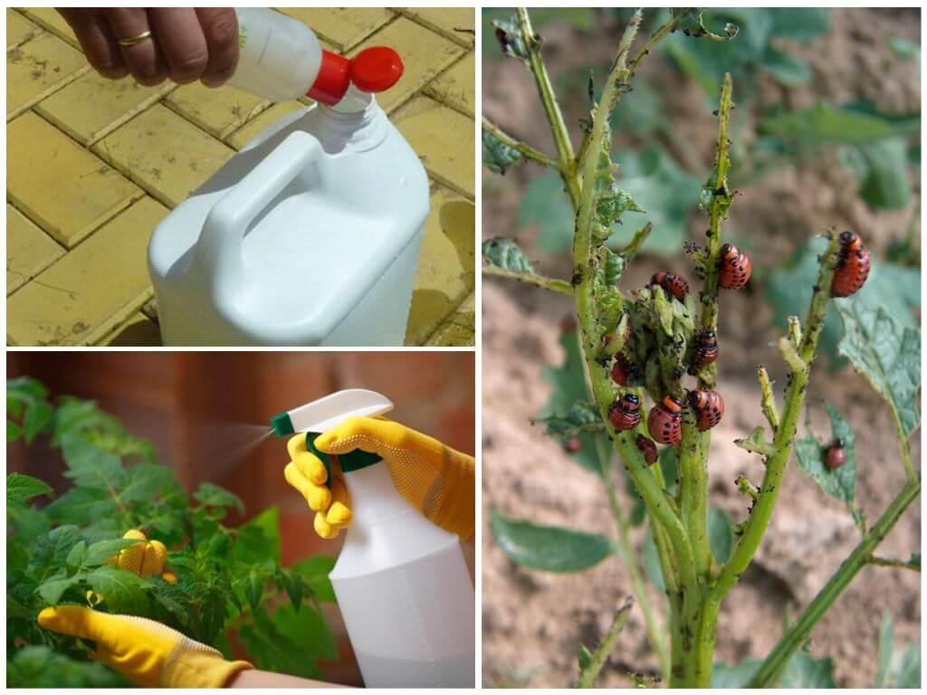 Hóa chất chống lại bọ khoai tây Colorado