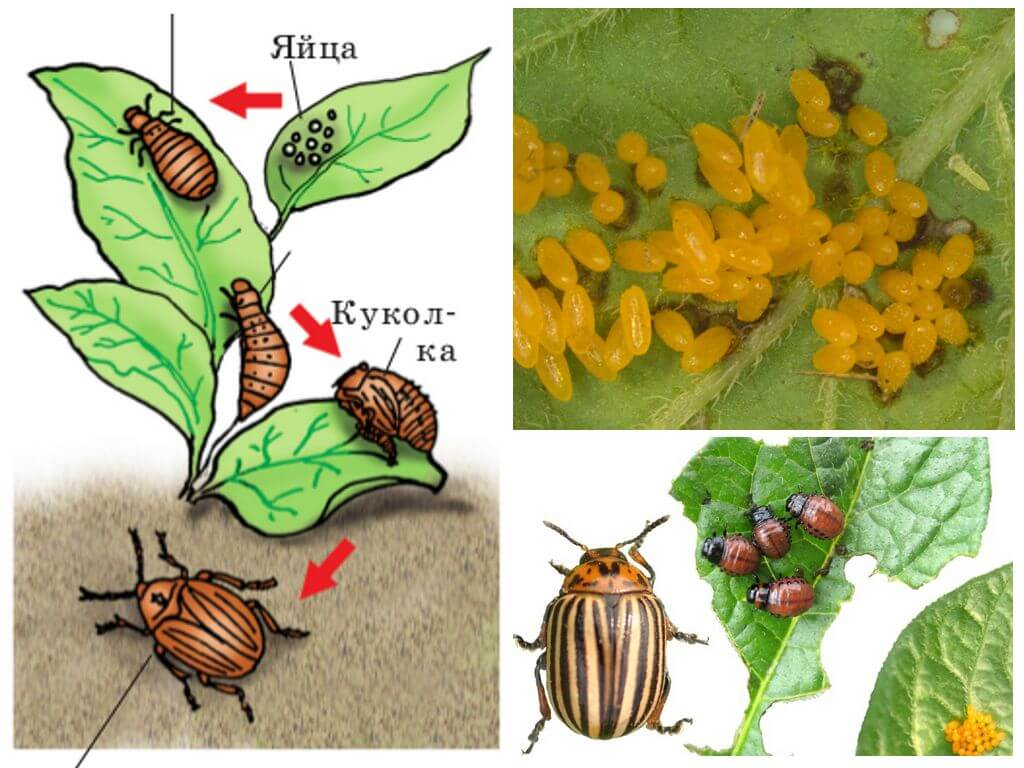 Vòng đời của bọ khoai tây colorado