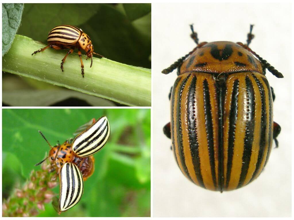 Colorado bọ cánh cứng