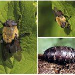 Gastric gadfly