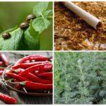 Biện pháp khắc phục dân gian cho bọ khoai tây Colorado