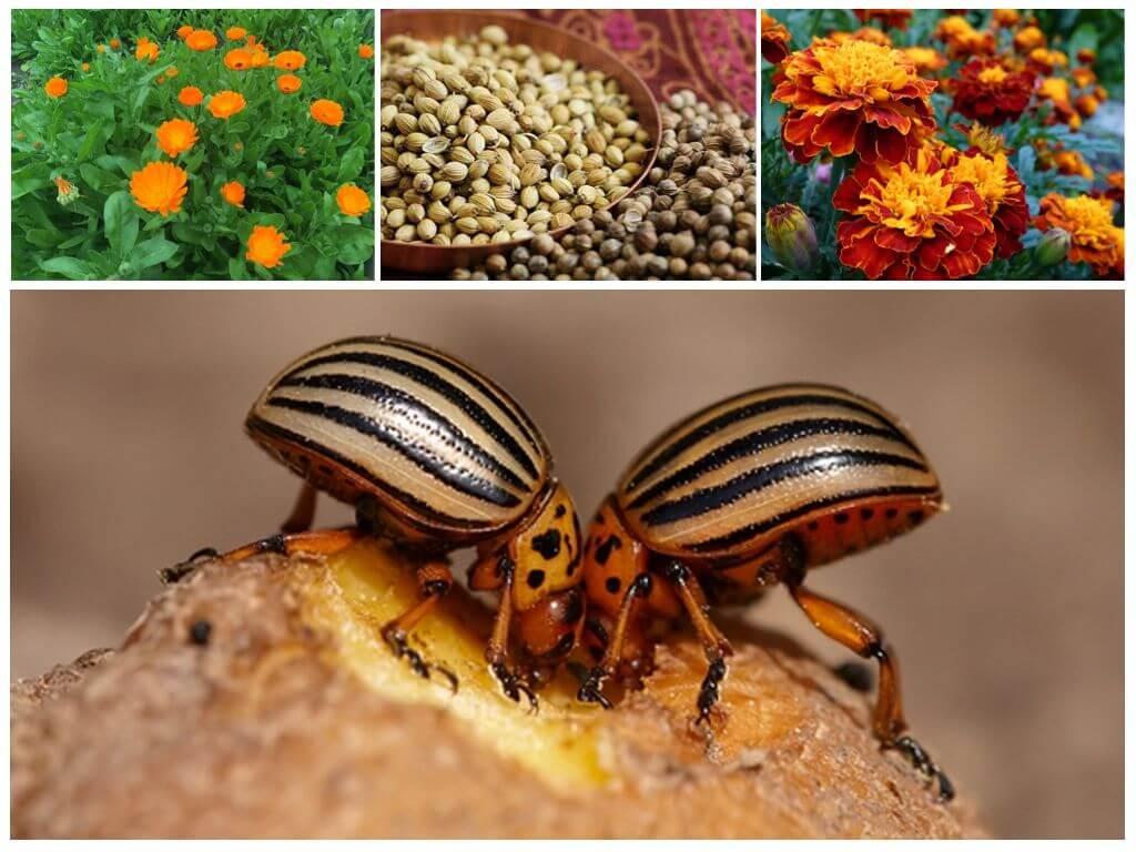 Các loại thảo mộc từ bọ khoai tây Colorado