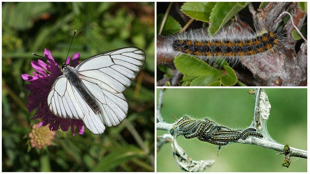 Caterpillar và Bướm Hawthorn