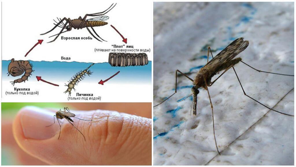 Chu kỳ sinh sản của muỗi Anopheles