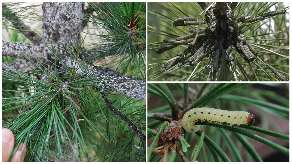 Sâu bướm trên cây thông