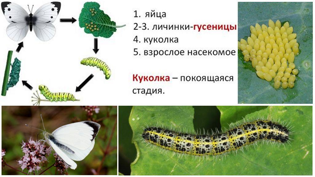 Chu kỳ phát triển bát bướm