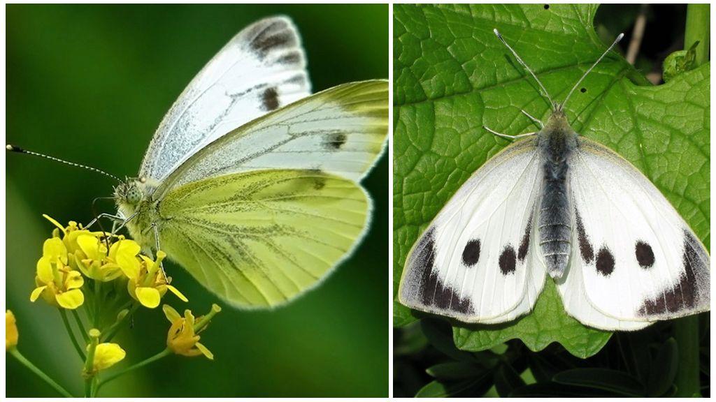 Bắp cải bướm