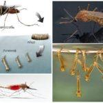 Chăn nuôi muỗi
