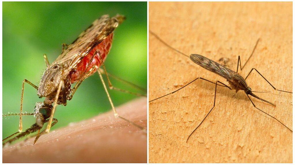 Muỗi sốt rét
