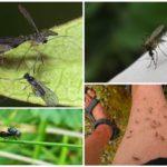 Đom đóm và muỗi