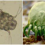 Mite Saraptiform và saprophyte mite