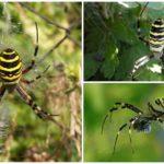 Thợ săn nhện sọc